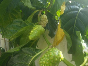 backyard noni